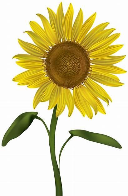 Sunflower Transparent Clipart Clip Sunflowers Roses Sonnenblume