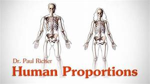 Human Figure Proportions - Average Figures