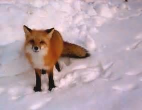 Red Fox Pet