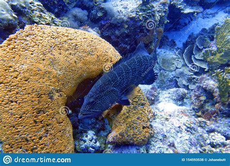 grouper reef coral amongst sitting underwater fish called bonaci