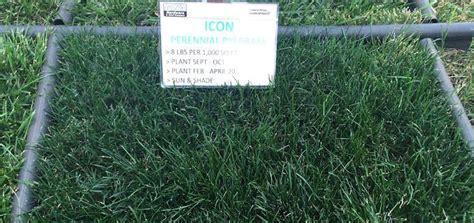 Turf Type Lawn Seed