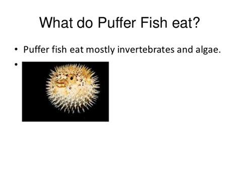 puffer fish beep lexi