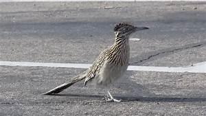 Greater Roadrunner Bird Running In For Fast Food