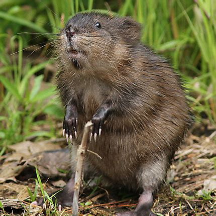Images Of Muskrats Muskrat Definition What Is