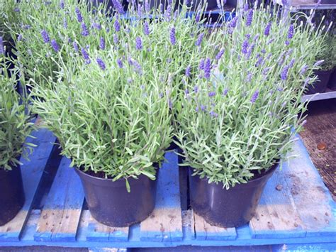 lavender plant height lavender hidcote 50cm inc pot height 5l pot 163 12 50 taking orders for march 2016