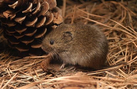 what is a vole meadow vole coniferous forest
