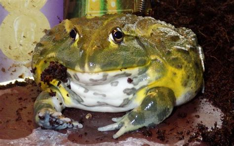 can frogs shed pyxicephalus