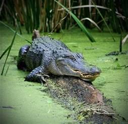Georgia Okefenokee Swamp Alligator