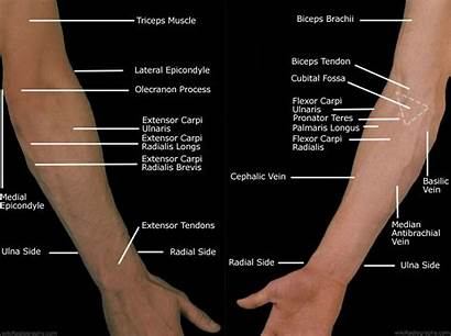 Forearm Anatomy Forearms Tunnel Elbow Wrist Joint