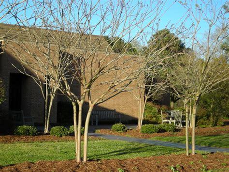 crapemyrtle pruning north carolina cooperative extension
