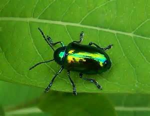 unknown irridescent green metallic beetle - Chrysochus ...