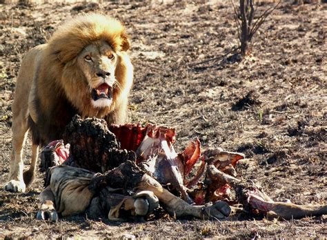 lions killing wolves lion eating human predator why farmers farmer actually animals vs want cow conservation cecil could them thing