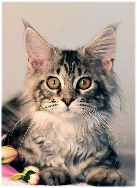 maine coon cat breed cat pictures information