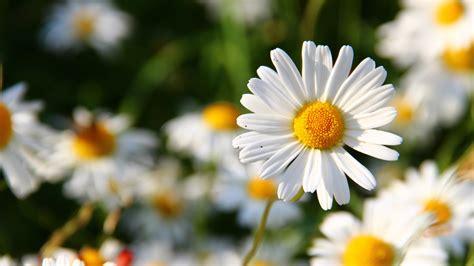 hd hintergrundbilder wildblumen weiss herz pollen