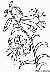 Coloring Lily Pages Colorkid Flowers sketch template