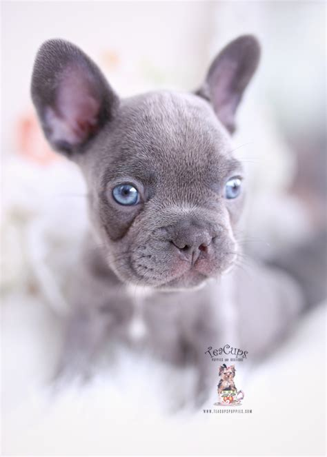 lilac frenchie puppies  sale teacup puppies boutique