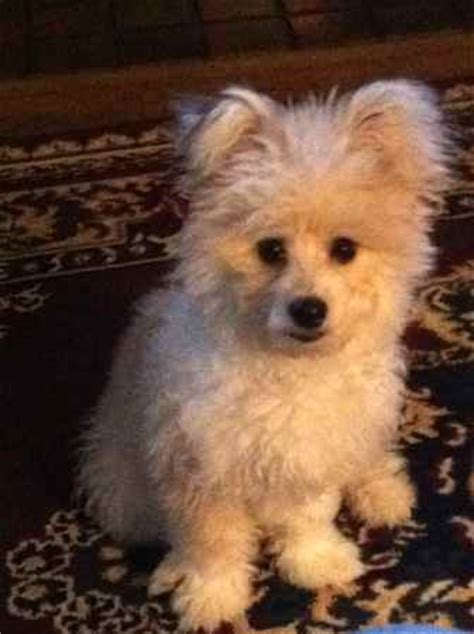 pictures of bichon pomeranian mix breeds picture