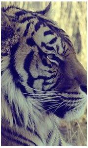 Tiger Desktop Backgrounds - Wallpaper Cave