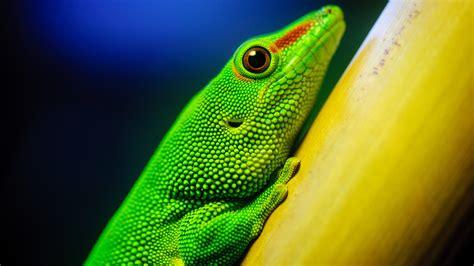 green lizard  ultra hd desktop wallpaper