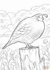 Coloring California Quail Pages Printable Bird Drawing Clipart Books Colouring Quails Print Dot Crafts Facts Animals Library Comments Categories sketch template