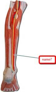 Left Posterior Tibial Artery Model