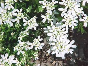 Pflanzen Im Juli : 6 stauden pflanzen f r einen wei en garten pflanzen versand baumschule mit onlineshop ~ Orissabook.com Haus und Dekorationen