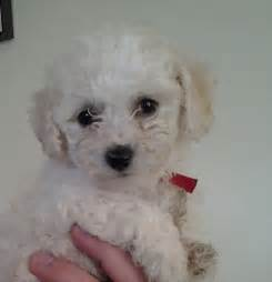 Very Small Puppies for Sale