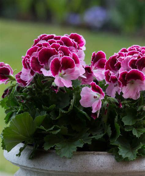 buy  container plant  pelargonium grandiflorum jeanette bakkercom