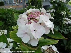 Magnolien Vermehren Durch Stecklinge : mein waldgarten hortensien durch stecklinge vermehren ~ Lizthompson.info Haus und Dekorationen