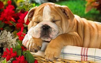 Bulldog Puppy Puppies English British Wallpapers Background