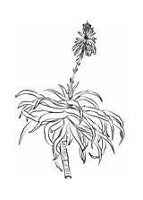 Aloe Coloring Krantz Arborescens Pages sketch template