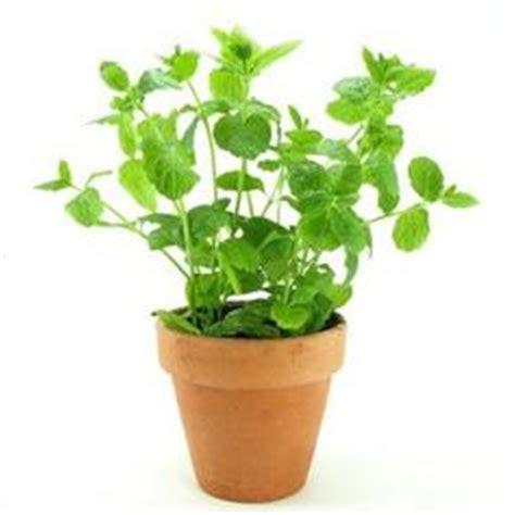 selectionne par votre magasin menthe plante en pot protegee par un emballage rigide en