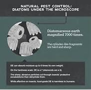 Diatomaceous Earth Under Microscope Flea