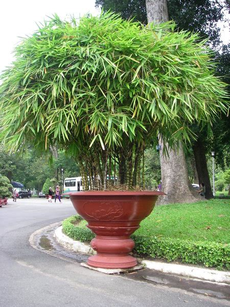 potted bamboo photo