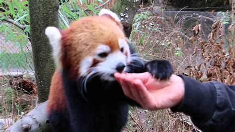 Red Pandas Eat Humans