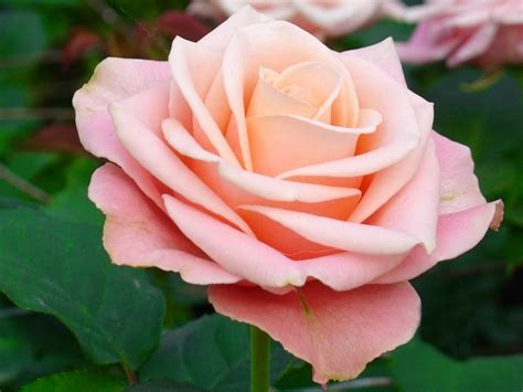 light pink roses 10 colors of that express feelings top 10s