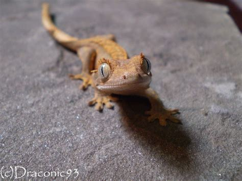 crested gecko reptiles to as pets