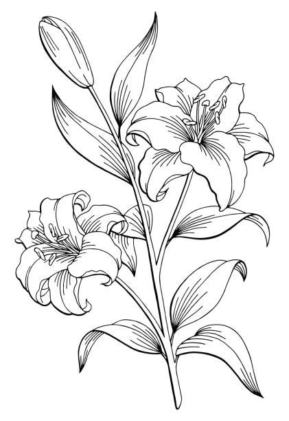 Best Lily Illustrations, Royalty-Free Vector Graphics