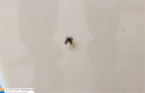 drain flies in bathroom scanning electron microscope moth fly in the s room