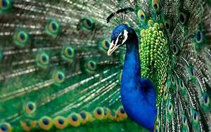 Peacock, Hd, Wallpapers