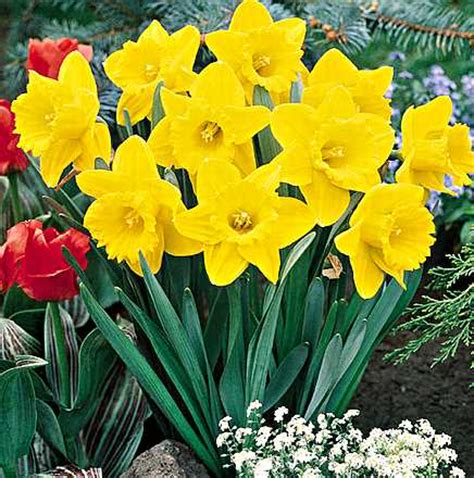 Spring Daffodil Flowers Pictures