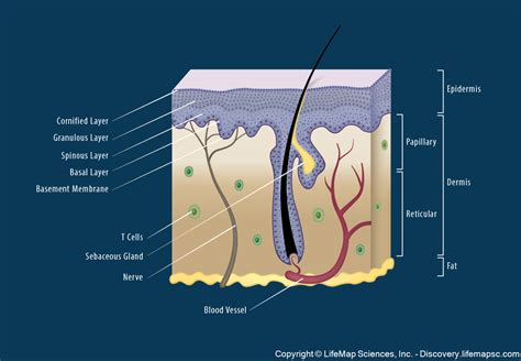 Skin Cell Diagram Label by Skin Structure Infographic Lifemap Discovery