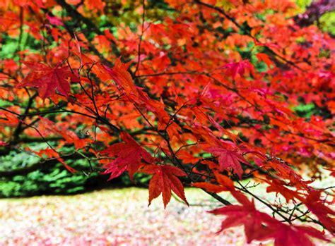Japanischer Garten Sträucher by Japanischer Ahorn Fern 246 Stliche Sch 246 Nheit Gartenpflanzen