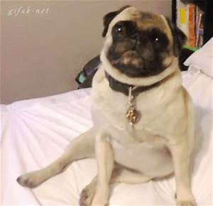 Pug Smile GIFs - Find & Share on GIPHY