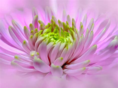 Light Pink Dahlia Close Pano Blossom Bloom Macro Flower