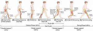1  Human Walking Gait Through One Cycle  Begin And Ending