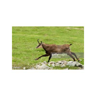 Alpine Chamois Running Stock PhotoGetty Images