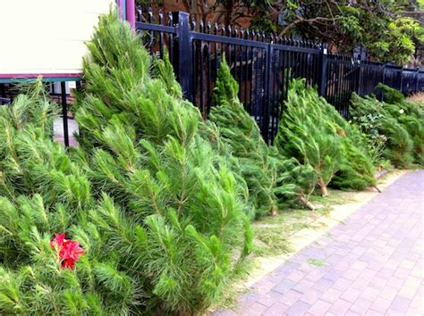 christmas trees for sale in sydney australia 169 french