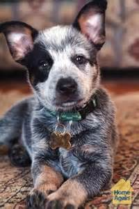 American Cattle Dog Puppies