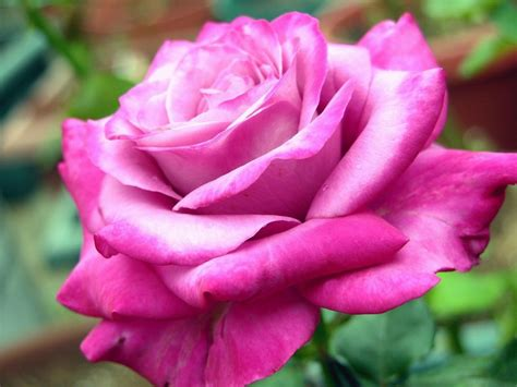 Funny Pictures Gallery Rose Flower Wiki